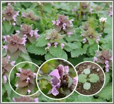 10 Organic Purple Dead-Nettle Seeds ~Lamium purpureum Archangel Free US Shipping
