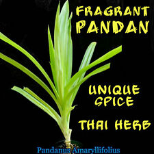 ~FRAGRANT PANDAN~ UNIQUE SPICE PLANT Pandanus Amaryllifolius Small Pot'd Starter