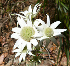 NSW Flannel Flower (ACTINOTUS helianthi) 50 seeds