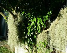 Spanish Moss or Air Plant