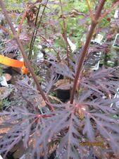 Japanischer Ahorn Firecracker - Acer palmatum Firecracker