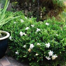 10 x GARDENIA RADICANS perfumed flowers groundcover plant in 140mm pot