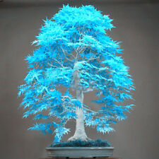 Blue Japanese Maple Seeds Mini Bonsai Seeds Maple Seeds Bonsai Garden Home Trees