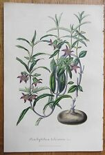 van Houtte: Garden Flowers Brachystelma from South Africa - 1848#