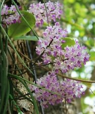 Seidenfadenia mitrata plant Orchid Miniature Thailand