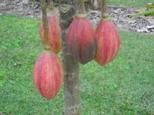Papayuelo seeds, rare papaya/paw paw relative Vasconcellea goudotiana