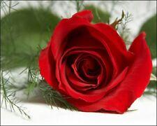 100 Seeds Red Roses Fire Bush Garden Rose Garden Double Flower Bulk Perennials