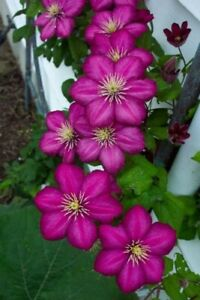 25 Magenta Clematis Seeds Bloom Flowers Perennial Seed Flower 85 US SELLER