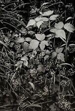 1947/72 Vintage ANSEL ADAMS Botanical Floral Leaf Grass Alaska Photo Art 11X14