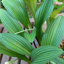 Rare, new Drimiopsis bulb! - Spectactular striped leaves!  - Seeds