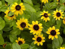 150 YELLOW CREEPING ZINNIA Sanvitalia Procumbens Seeds *Comb S/H & Free Gift