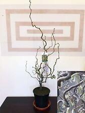 2ft Twisted Corylus avellana Contorta Corkscrew Hazel Tree Garden Plant @ 3L Pot