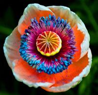Plants 100 PCS Seeds Dainty Purple Red Poppy Double Petals Flowers Bonsai Garden