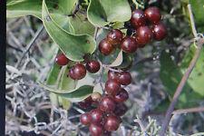 5 Samen Sarsaparilla,Smilax aspera#640