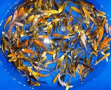 "51-Lot Assorted 3""-4"" live koi Standard & Butterfly Fin Live Fish mixed lot PKF"