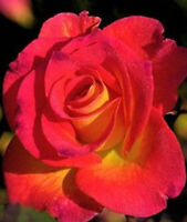 Red Rose Yellow Center Linka Rose 80 SEEDS--BUY 4 ITEMS FREE SHIPPING