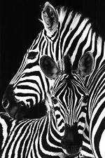 Zebra- Poster Print, 24x36