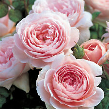Rare 'Queen of Sweden' Pink Rose Shrub Flower 50 Seeds Real Seeds Sweet Perfume
