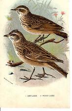 Antiguo Cromo-impresión litográfica-cielo Lark & Wood Lark-Lloyd 's Historia natural (c1890)