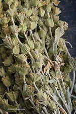 Griechischer Bergtee Sideritis syriaca Tee Heilpflanze 20 Samen VERSAND FREI !!!