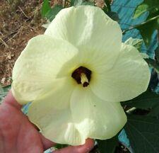 Hibiscus Manihott,10 seeds