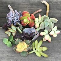 CUTTINGS - Colorful Succulent Mystery Variety - (7 cuttings)