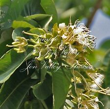 Duabanga grandiflora Tree 25 Seeds White Flower Clusters Attracts Butterflies