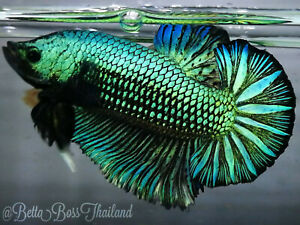 (100%GIANTBLOODLINE) PREMIUM LIVE BETTA l G3 Giant Green Mamba Rare Color 7.1cm!