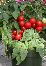 Vegetable - Tomato - Totem  F1 - 10 Seeds