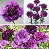 175 Pcs Magenta Nelke Dianthus-blumen-anlage Caryophyllus Blume G Samen DIY K3K6