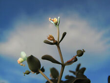 EUPHORBIA globulicaulis, 10 fresh seeds (08/2021) 2nd cycle / Somalia  / Caudex