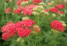 New listing Yarrow Paprika 25 Plants in 3-1/2 inch Pots Free Shipping