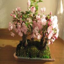 Bonsai ciliegio in vendita ebay for Bonsai ciliegio