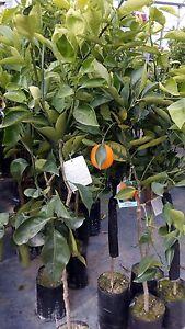 PIANTA DA FRUTTO ARANCIO TAROCCO IN FITOCELLA  ( foto reali della pianta )