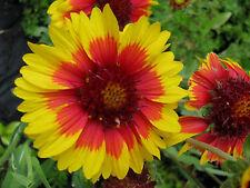 Kokardenblume Gaillardia aristata Kobold Sommerblüher