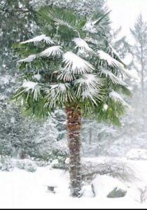 30 Samen Hanfpalme  Trachycarpus fortuneiPalmen Samen