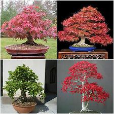 10 semi di  Acer in mix ,Acer rubrum, palmatum,palmatum atropurpureum, campestre