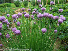 """Schnittlauch Allium schoenoprasum 200 Samen """"ALLES NUR 1 EURO"""""""