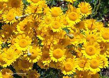 Färberkamille Anthemis tinctoria Blume 200 Samen VERSAND FREI !!!