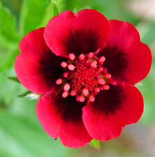 Beautiful Hardy Scarlet Cinquefoil! 25 Seeds - Comb. S/H Bright Red Flowers!