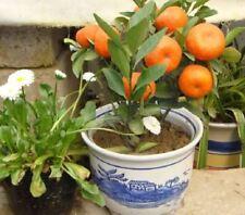10 Pcs Mandarin Seeds Edible Fruit Citrus Sweet Clementine Seeds Orange Seeds