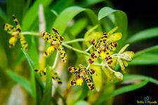 Orchid Flask Ansellia Caprivi
