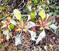 Delonix Pumila, Flamboyant poinciana tree Very Rare bonsai plant seed - 5 Seeds