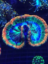 Rainbow Wellso WYSIWYG Live Coral Frag - Pop Corals Candy Shop