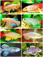 60 EGGS NOTHOBRANCHIUS KILLIFISH KILLI EGG HATCHING TROPICAL FISH + FOOD