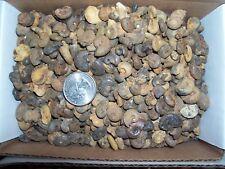 100 fossil ammonites per lot