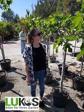 Ficus Caria Feigenbaum Feige Gesamthöhe ca. 1,90 m Freiland