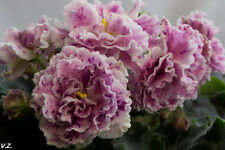 ☘ LE - AYSEDORA ☘ African Violet Plant Saintpaulia ☘ Starter Plug Ukrainian ☘