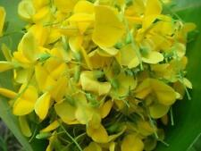 100 Seeds Sesbania,javanica,Edible flower seeds,Fresh seeds from my garden