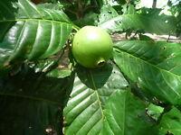20 Samen Borojoa patinoi, Borojó, Boroja, Liebesfrucht
